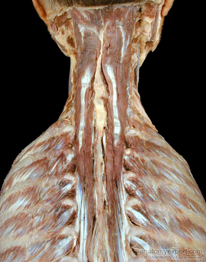 semispinalis cervicis wwwpixsharkcom images